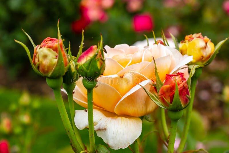 claro - rosas alaranjadas em camas do jardim no verão foto de stock royalty free