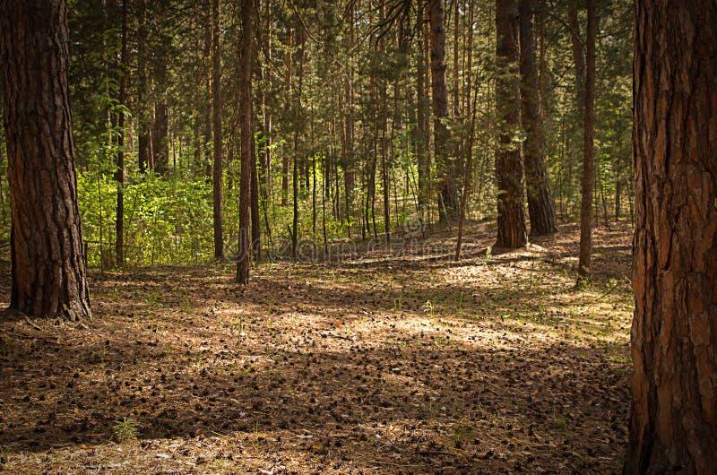 Claro soleado en el bosque en un día de verano con las sombras fotografía de archivo libre de regalías