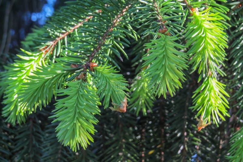 Claro - tiros novos verdes de ramos do pinho imagens de stock