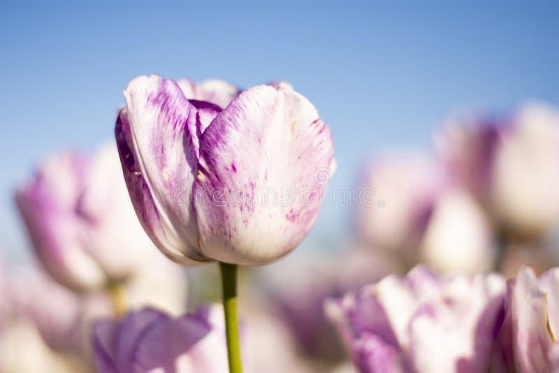 Claro - Tulip Flower roxa e branca com o céu azul borrado do fundo e as flores roxas e brancas imagens de stock