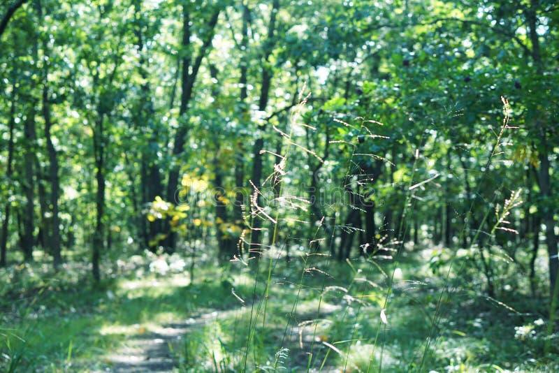 Claro verde en la calzada del bosque del Forest Green Luz del sol a través de árboles T imagen de archivo