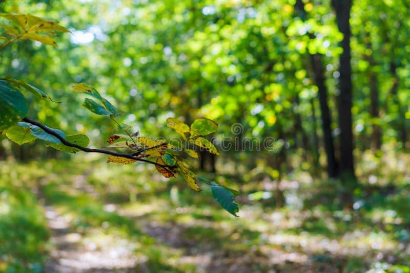 Claro verde en la calzada del bosque del Forest Green Luz del sol a través de árboles T foto de archivo
