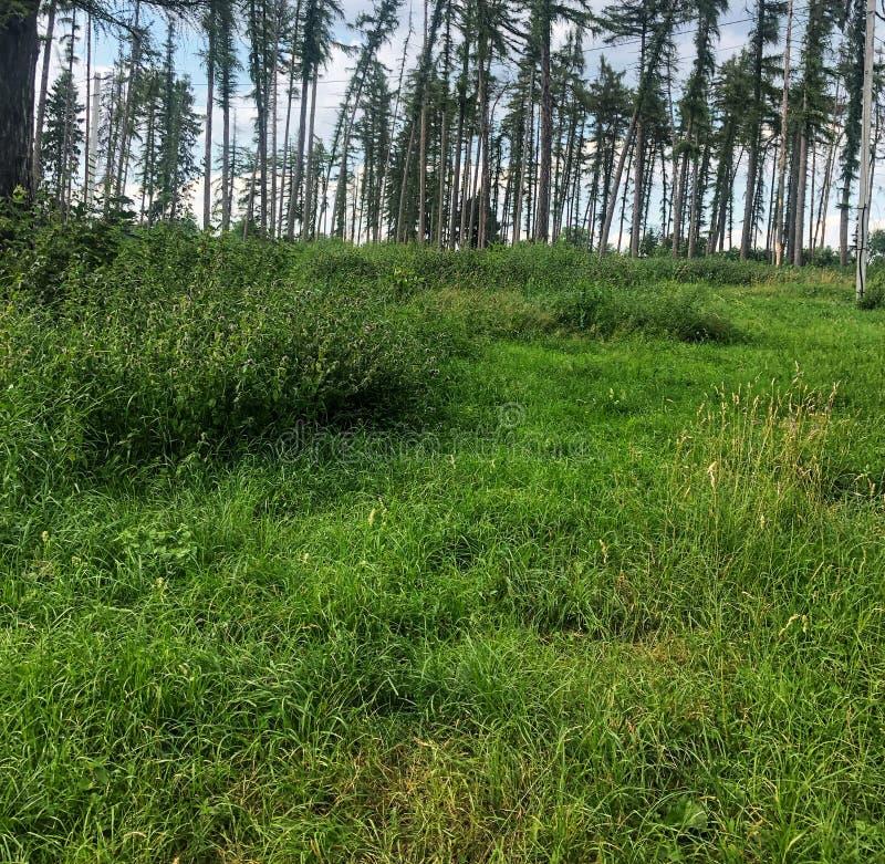 claro verde real en el bosque del pino imagenes de archivo