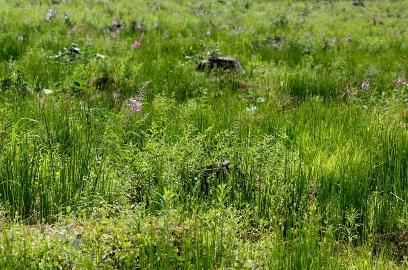 Claros, demasiado grandes para su edad con la hierba verde y el sauce-té después de la tala de árboles imagenes de archivo