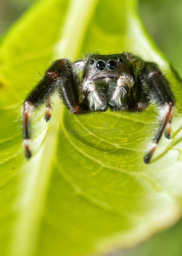 Clarus hermoso de Phidippus, araña de salto brillante, para presa que espera fotos de archivo