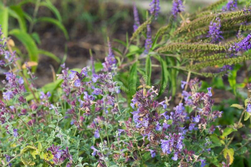 Clary för Salvia pratensisäng, visa blommor för äng arkivbild