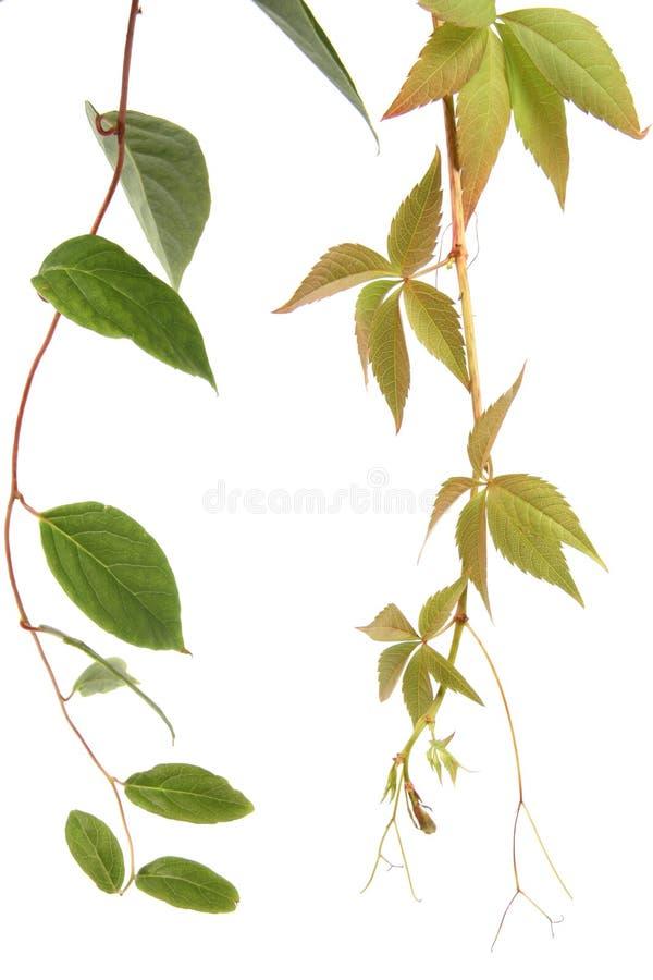 Clase dos de plantas de la enredadera foto de archivo