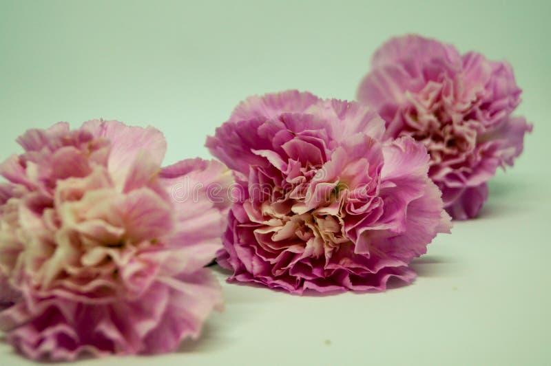 Clase rosada de los claveles abajo en el fondo blanco fotos de archivo libres de regalías