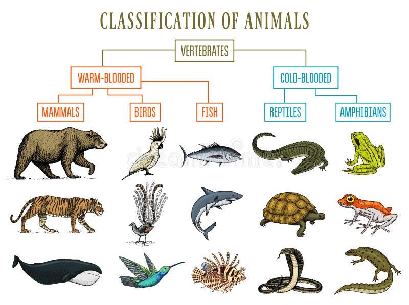 Clasificación de animales Pájaros de los mamíferos de los anfibios de los reptiles Oso Tiger Whale Snake Frog de los pescados del ilustración del vector