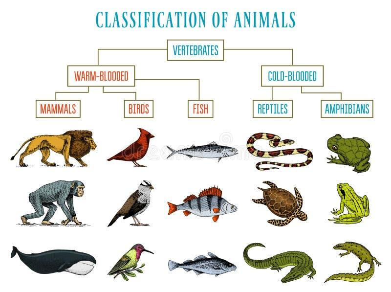 Clasificación de animales Pájaros de los mamíferos de los anfibios de los reptiles Pescados Lion Whale Snake Frog del cocodrilo D ilustración del vector