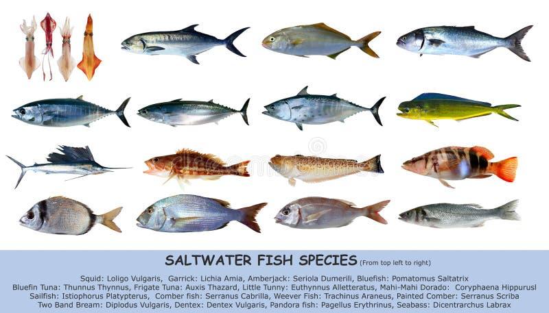 Clasificación del agua salada de la especie de los pescados aislada fotos de archivo