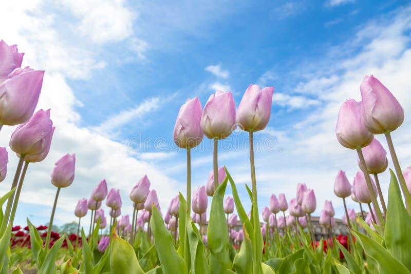 Classé des tulipes roses images stock
