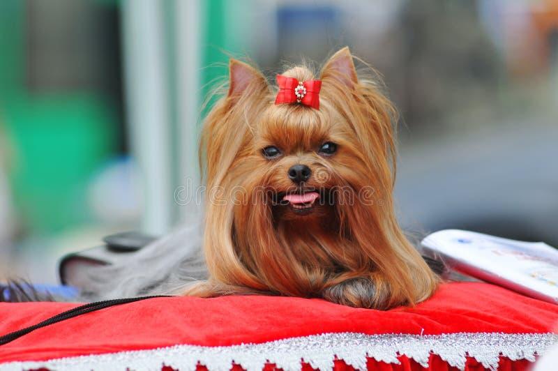 Classe da mostra do terrier de Yorkshire foto de stock royalty free