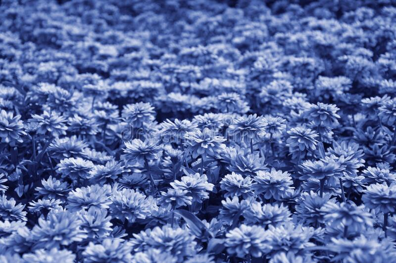 The classic blue color of a huge field of garden chrysanthemums. Background, texture royalty free stock images