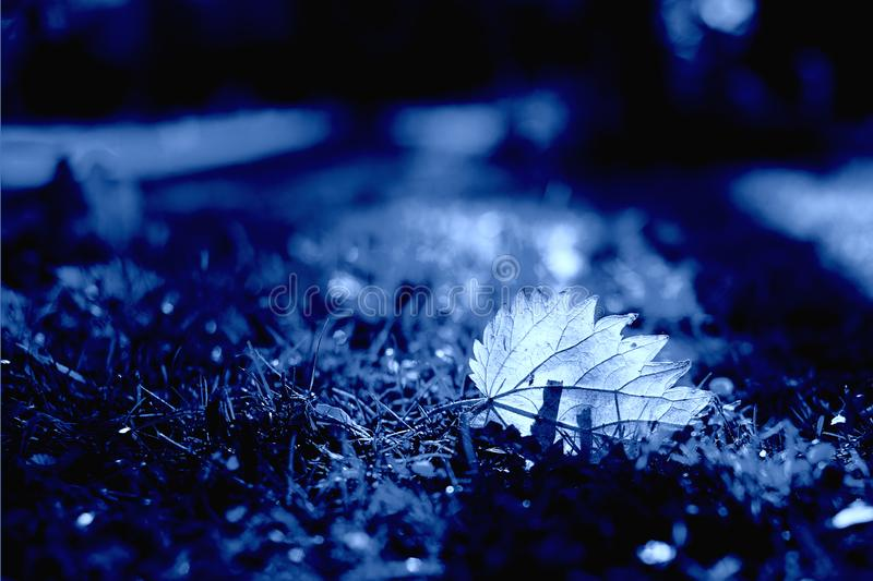 Classic Blue. Color of the Year 2020. Fallen leaf illuminated by the sun lies in the grass. Classic Blue. Color of the Year 2020. Fallen leaf illuminated by the stock image