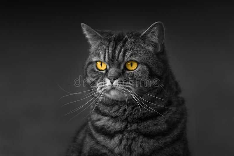 Tabby cat portrait with amber eyes black and white royalty free stock image