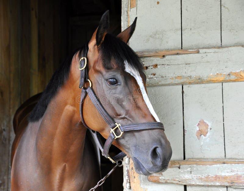 Great Horse Racing photos by Fleetphoto. Classic horse racing photos from award winning photographer Fleetphoto. A stunning, close-up of `Latigo Trail` a bay royalty free stock image