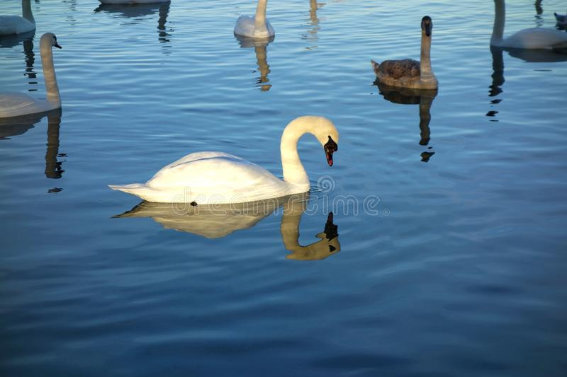 Classic Swan Bending hid Head Down in the Light. A classic image of a white swan looking into its own reflection on a lake in Switzerland surrounded by other stock image