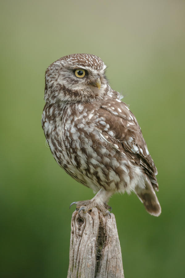 Classic little owl. A little owl perches upon an old wooden post in classic style stock photography