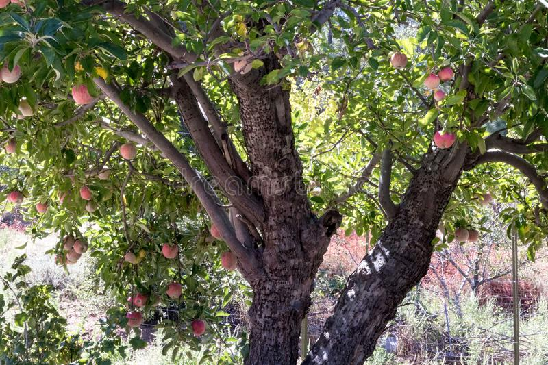 Classic old apple tree natural organic ripe Red Heirloom Delicious organic apples on branches in a tree in fall, autumn season, he stock photography