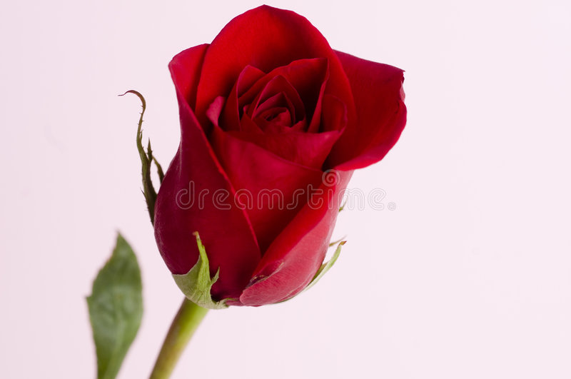 Classic Single Red Rose Stock Photography