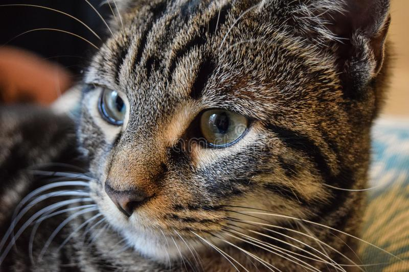 Classic Tabby Cat stock images