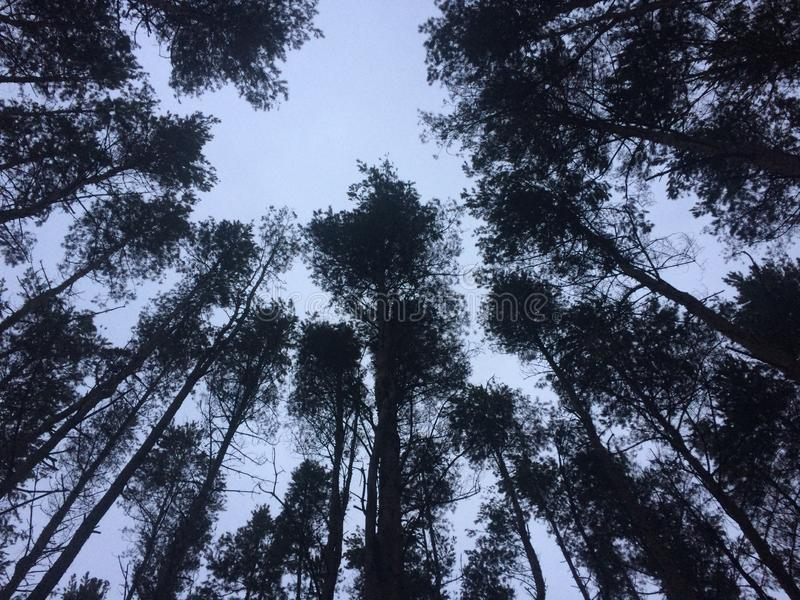 Classic wide-angle view of famous giant pine trees, known as giant redwoods or Siberia redwoods royalty free stock image