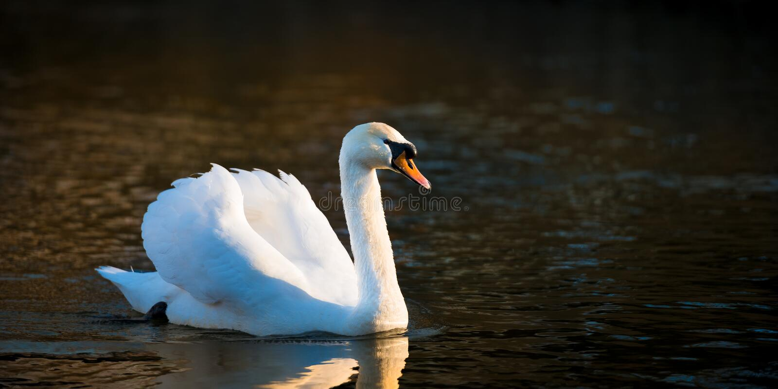 Classical Swan. Adult mute swan side view on River Yare stock photography