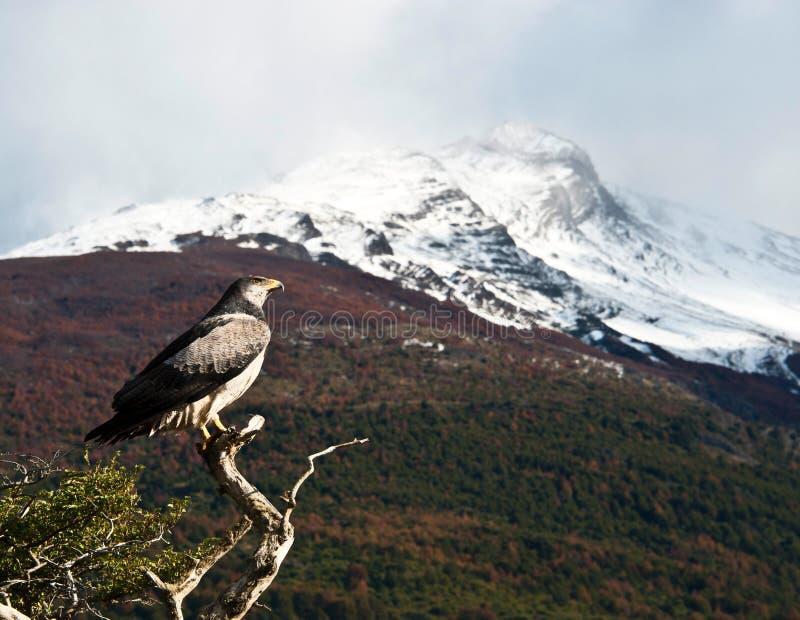 Classico patagonian: uccello, albero, collina. Torres del Paine. Il Cile immagini stock libere da diritti
