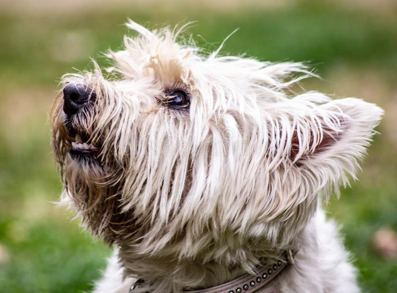 Classified as a companion dog, the Maltese is a very ancient breed. In fact, it has been present since Roman times whose women in. Noble houses kept it for its stock photography