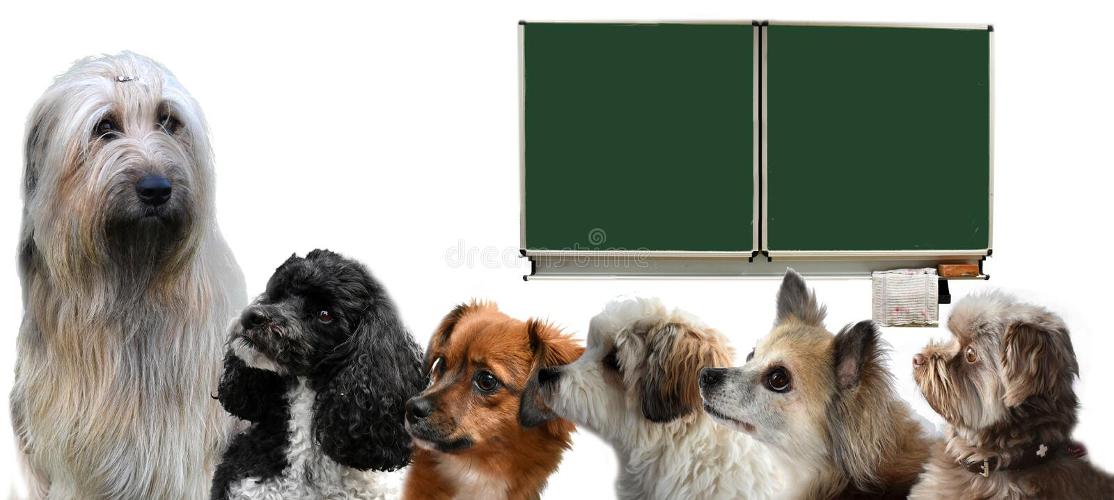 Classroom of dog school with teacher and pupils. Classroom of the dog university . Teacher dog  looks at  small pupil dogs standing in  a row in the classroom stock photography