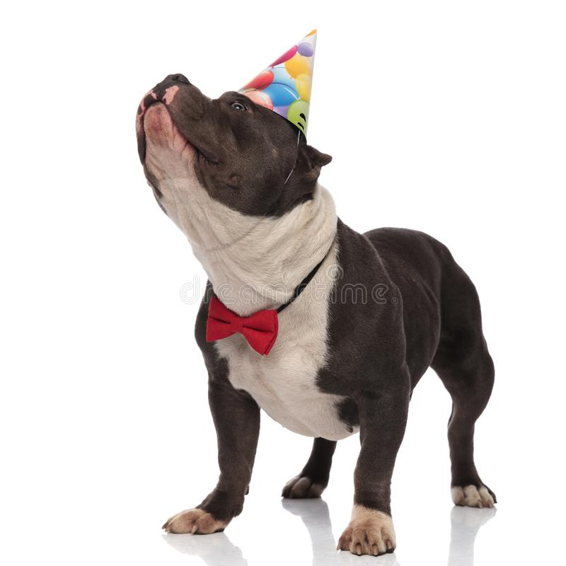 Classy american bully wearing birthday hat looks up to side. While standing on white background stock photo