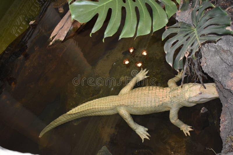 Claude Albino Alligator, Academia das Ciências imagem de stock royalty free