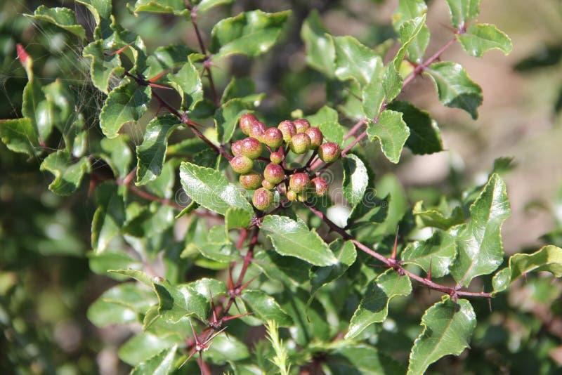 Clava-herculis der getrockneten Gelbholzrinde (Blatt und Dorne) lizenzfreie stockfotos