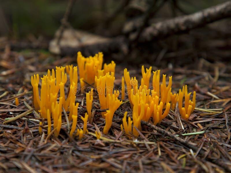 Clavaria inclinado amarillo Ramaria Formosa imagen de archivo