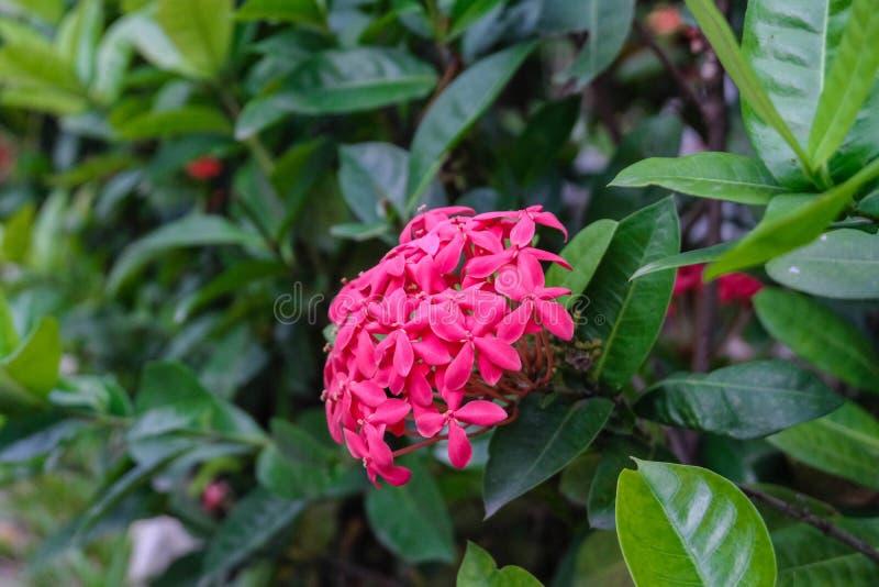 Clave la flor, el punto rosado de la flor y las hojas del verde clave la flor en el jardín con el fondo natural imagen de archivo