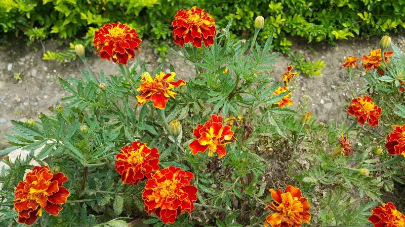 Clavel de Moro, Tagetes Patula, γαλλικό Marigold στοκ φωτογραφία με δικαίωμα ελεύθερης χρήσης