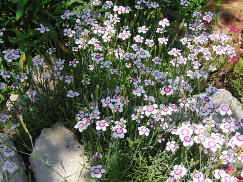 Clavel - deltoides en el jardín del verano imagen de archivo libre de regalías