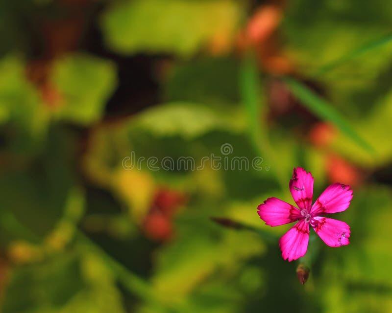 Clavel Deltoides o flor rosada virginal fotografía de archivo