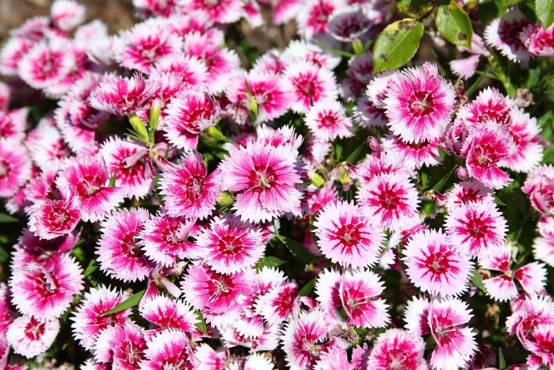 Clavel dulce Barbatus de la flor de Guillermo imagenes de archivo