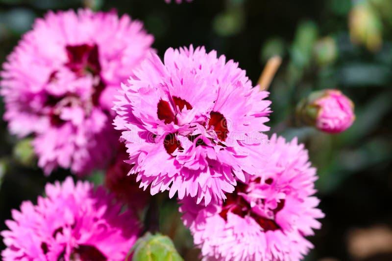 Clavel dulce Barbatus de la flor de Guillermo imagen de archivo