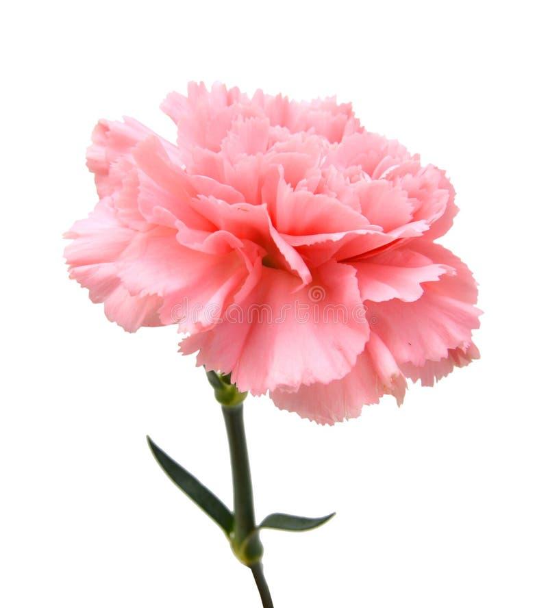 Clavel rosado imágenes de archivo libres de regalías