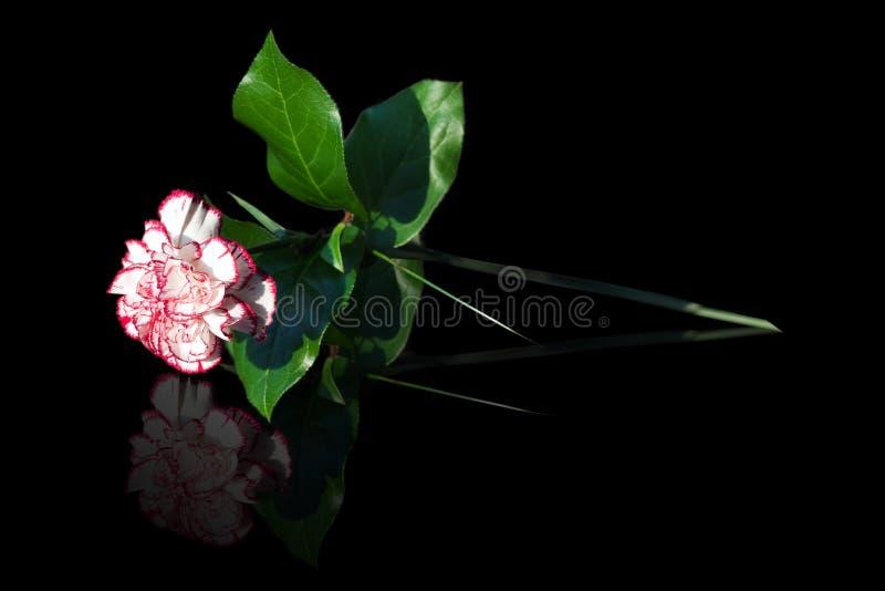 Clavel rosado y blanco imagenes de archivo