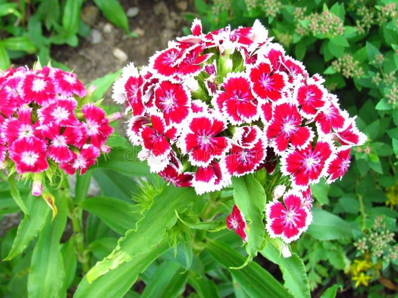 Claveles, caryophyllus del clavel, inflorescencias bicolores, flores rojas con la frontera blanca imagen de archivo