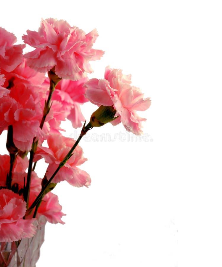 Claveles rosados foto de archivo libre de regalías