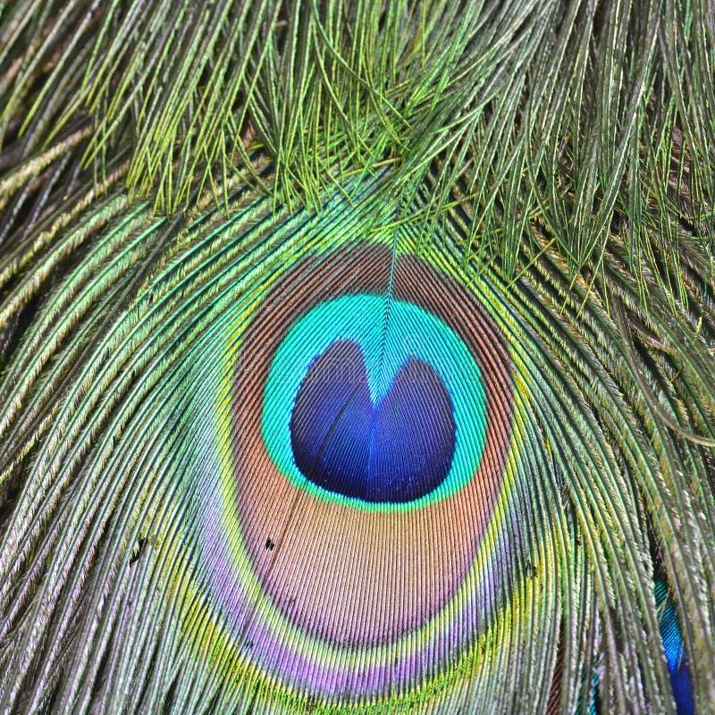 Clavettes vertes de paon photos libres de droits