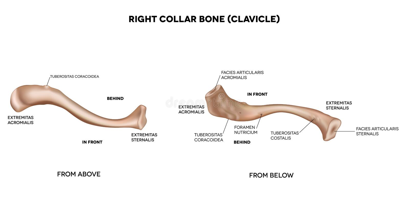 Clavicle (collar bone) stock illustration