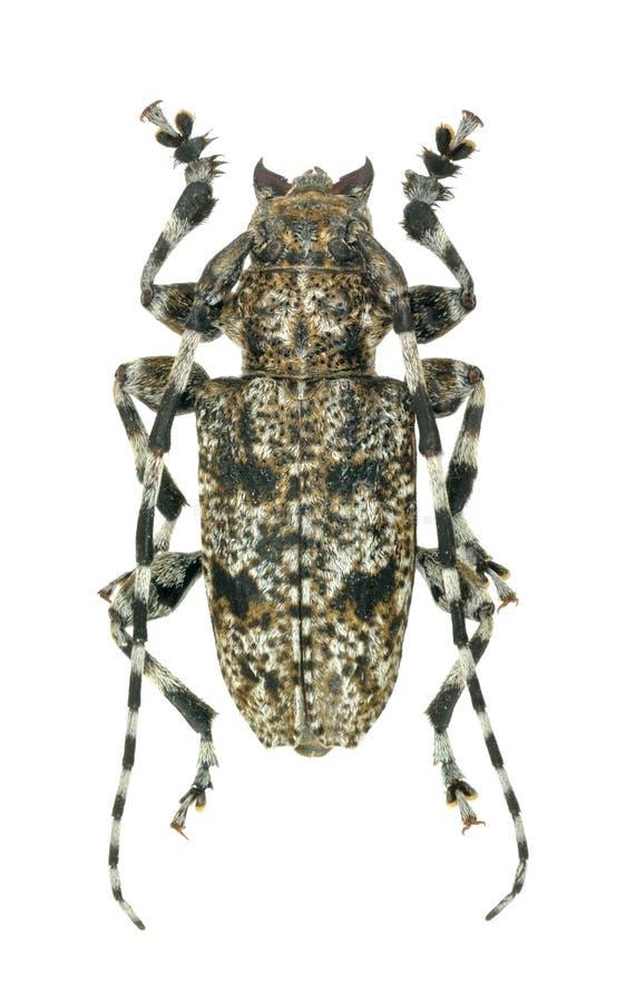 Clavipesi de Aegomorphus del escarabajo del Capricornio fotos de archivo