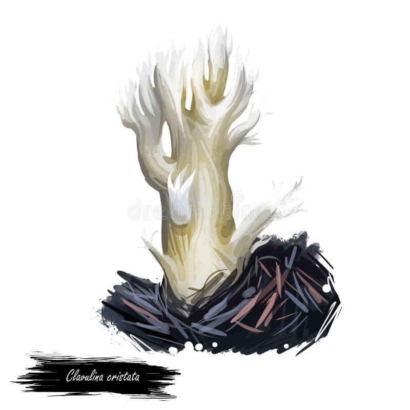Clavulina cristata białobrzuchy, grzyb koralowy jasnobarwny jadalny Ameryki i Europy. ilustracja sztuki cyfrowej, ilustracji