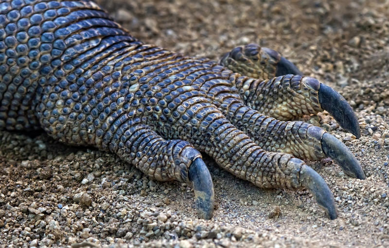 The claw. Belongs to the largest reptile lizard stock images